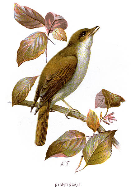 Vireo clipart #8, Download drawings