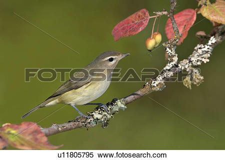 Vireo clipart #7, Download drawings