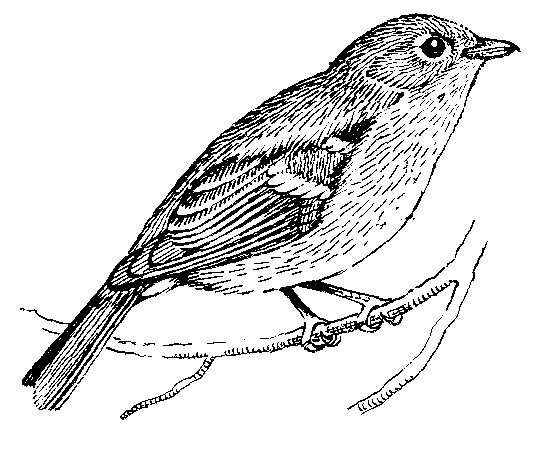 Vireo coloring #7, Download drawings