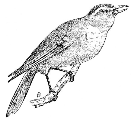 Vireo coloring #1, Download drawings