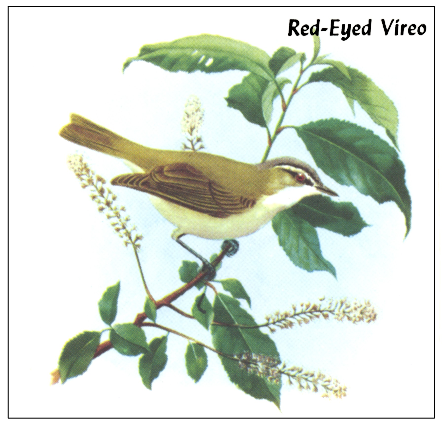 Vireo coloring #19, Download drawings