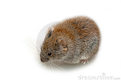 Vole clipart #10, Download drawings
