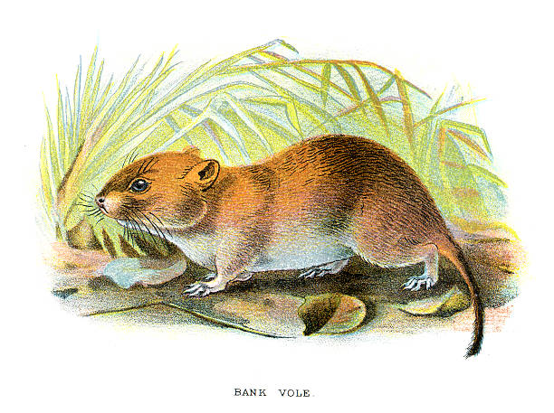 Vole clipart #8, Download drawings