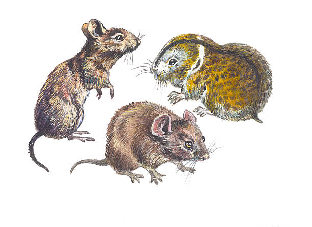 Vole clipart #6, Download drawings