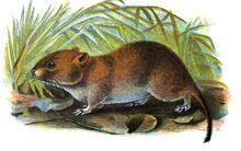Vole clipart #16, Download drawings
