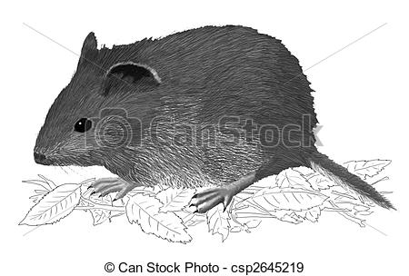 Vole clipart #15, Download drawings