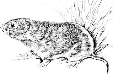 Vole coloring #2, Download drawings