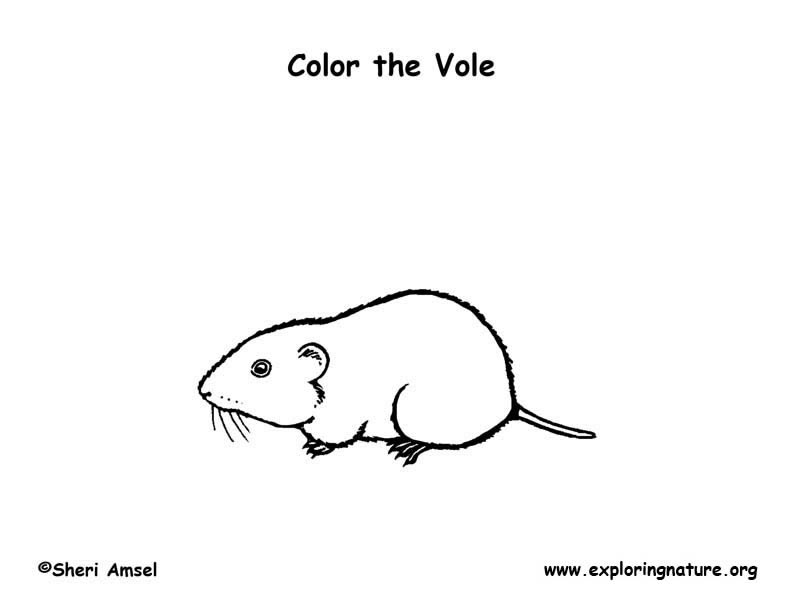 Vole coloring #3, Download drawings