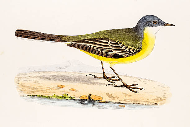 Wagtail clipart #5, Download drawings