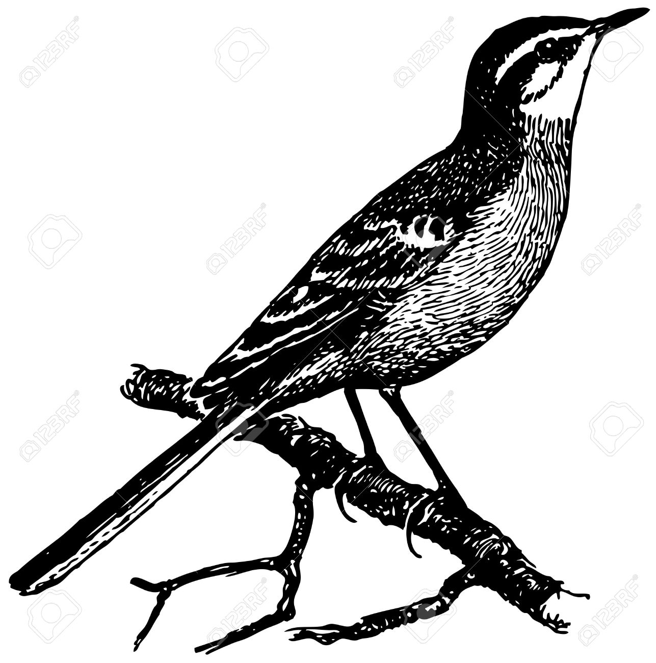 Wagtail clipart #6, Download drawings