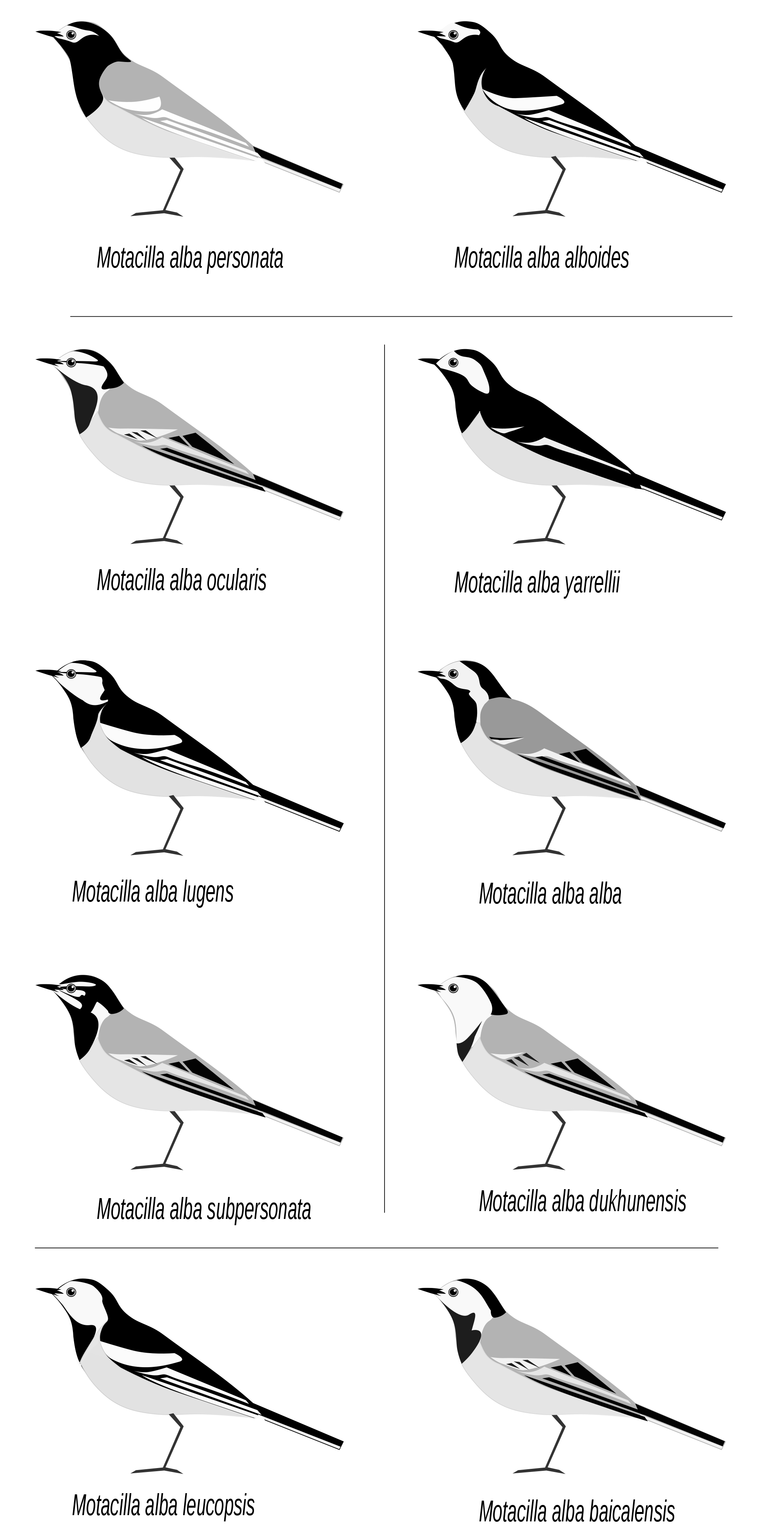 Wagtail svg #2, Download drawings