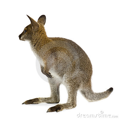 Wallaby clipart #4, Download drawings