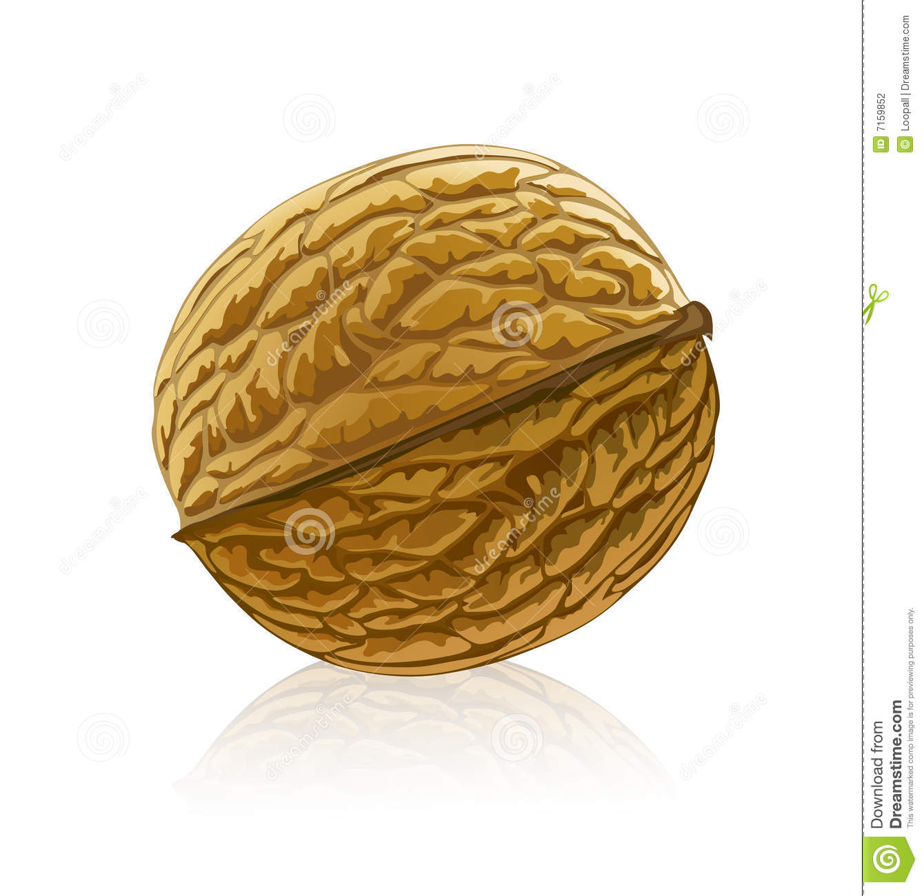 Walnut clipart #7, Download drawings