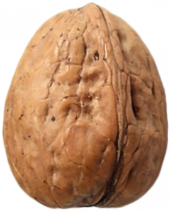 Walnut clipart #15, Download drawings