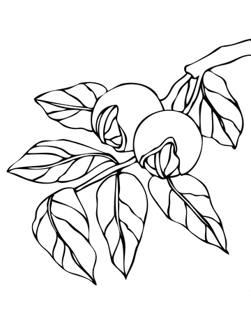 Walnut coloring #4, Download drawings