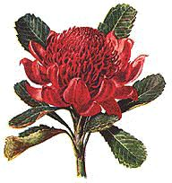 Waratah clipart #11, Download drawings