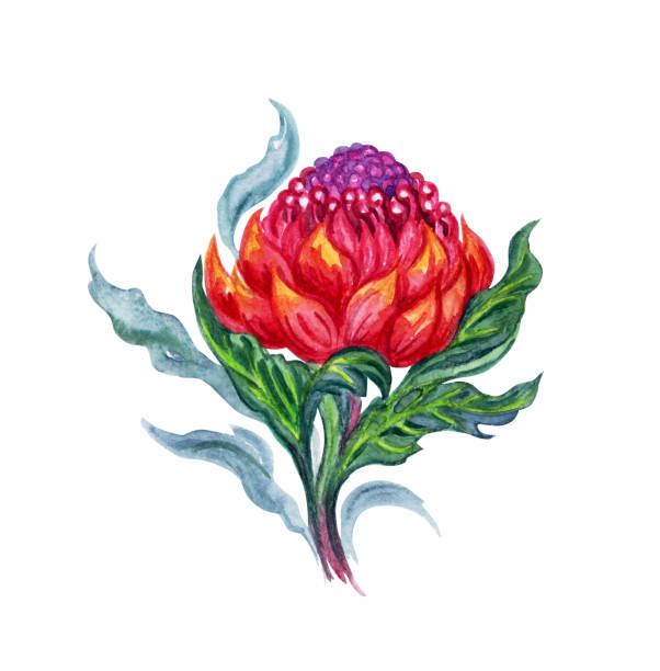 Waratah clipart #19, Download drawings