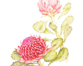 Waratah clipart #14, Download drawings