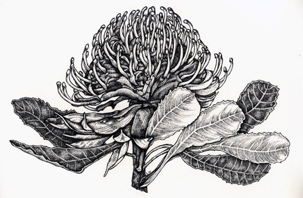 Waratah clipart #9, Download drawings