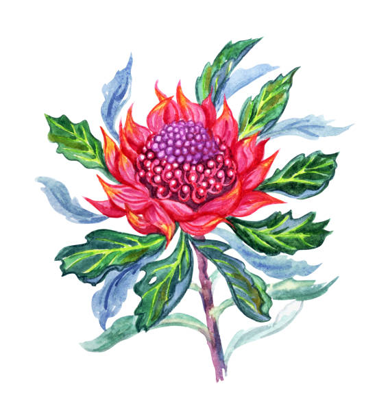 Waratah clipart #5, Download drawings
