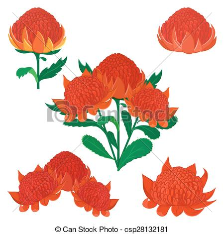 Waratah clipart #3, Download drawings