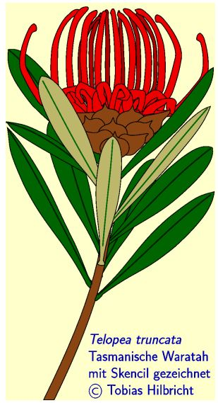 Waratah clipart #18, Download drawings