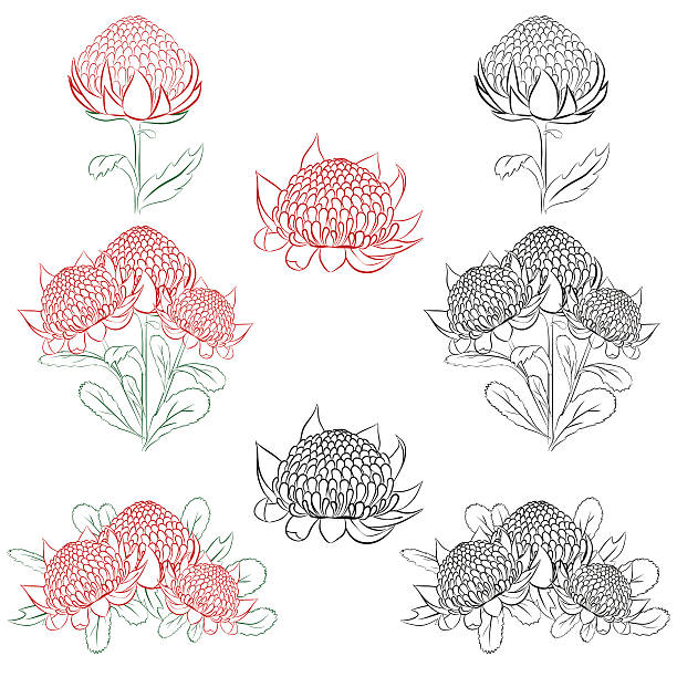 Waratah clipart #15, Download drawings
