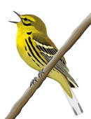 Warbler clipart #18, Download drawings
