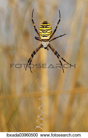 Wasp Spider clipart #8, Download drawings
