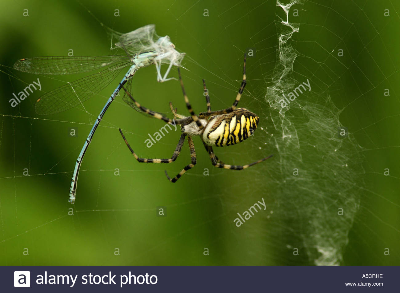 Wasp Spider clipart #2, Download drawings
