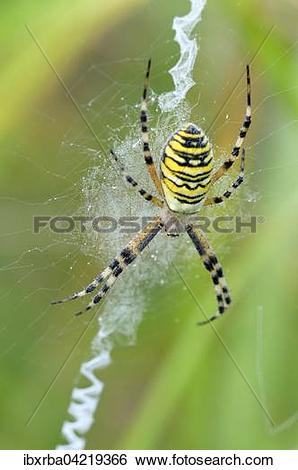 Wasp Spider clipart #18, Download drawings