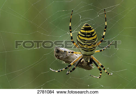 Wasp Spider clipart #15, Download drawings