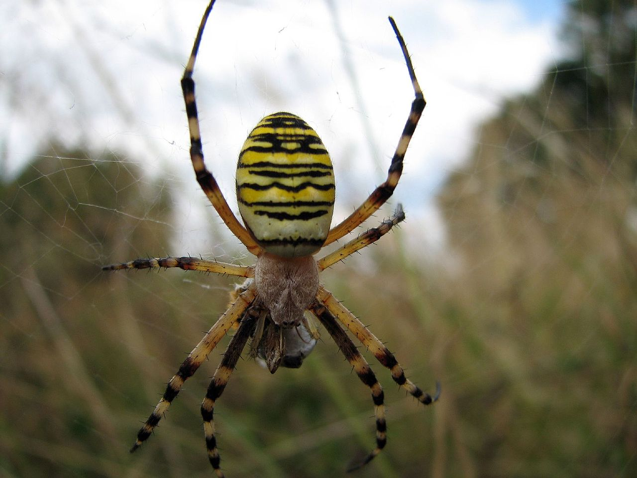 Wasp Spider svg #15, Download drawings
