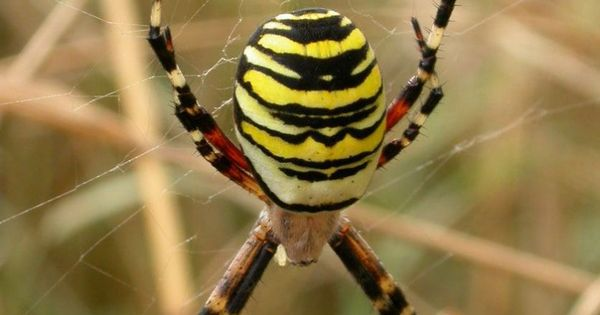 Wasp Spider svg #1, Download drawings
