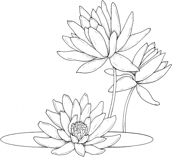 Water Lily coloring #3, Download drawings