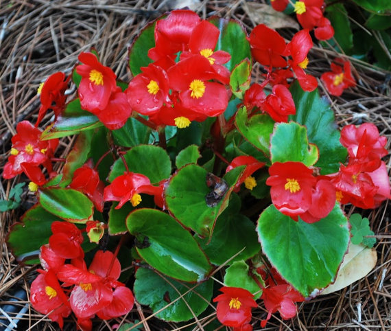 Wax Begonia clipart #13, Download drawings