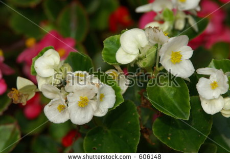 Wax Begonia clipart #10, Download drawings