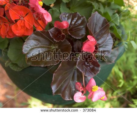 Wax Begonia clipart #4, Download drawings