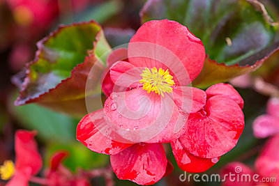 Wax Begonia clipart #9, Download drawings