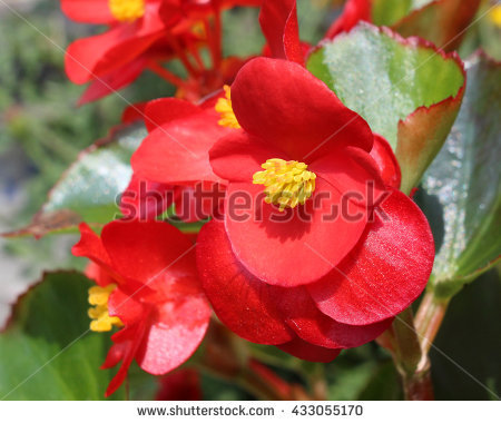 Wax Begonia clipart #17, Download drawings