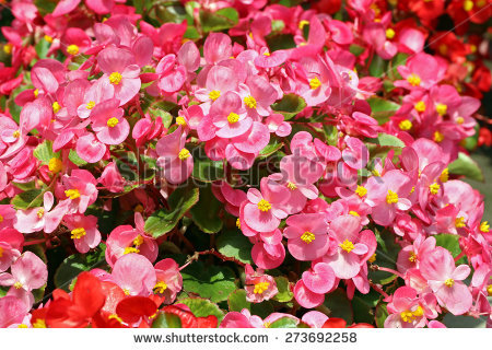 Wax Begonia clipart #14, Download drawings