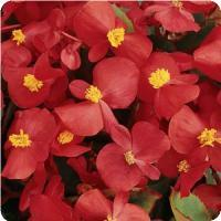 Wax Begonia clipart #5, Download drawings