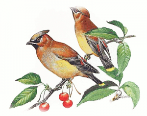 Waxwing clipart #3, Download drawings