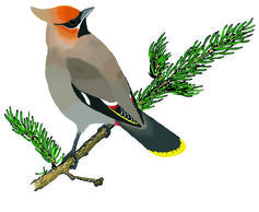 Waxwing clipart #13, Download drawings