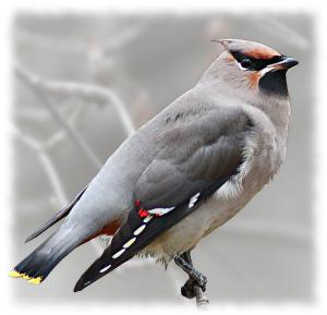 Waxwing clipart #9, Download drawings