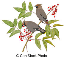 Waxwing clipart #10, Download drawings