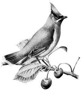 Waxwing clipart #2, Download drawings
