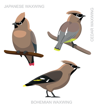 Waxwing clipart #15, Download drawings