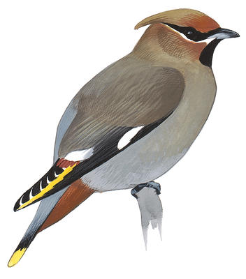 Waxwing clipart #19, Download drawings