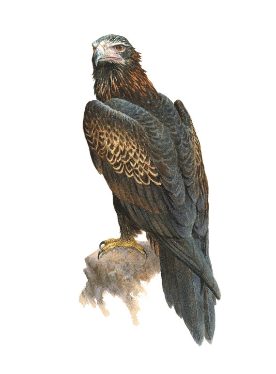 Wedge Tailed Eagle clipart #20, Download drawings